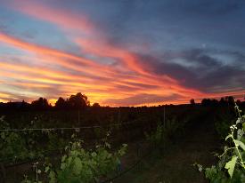Sunset over Alegria Vineyards