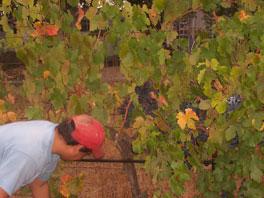 worker in Alegria Vineyards at harvest