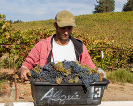 Zach picking Syrah & Viognier for our field-blend Syrah