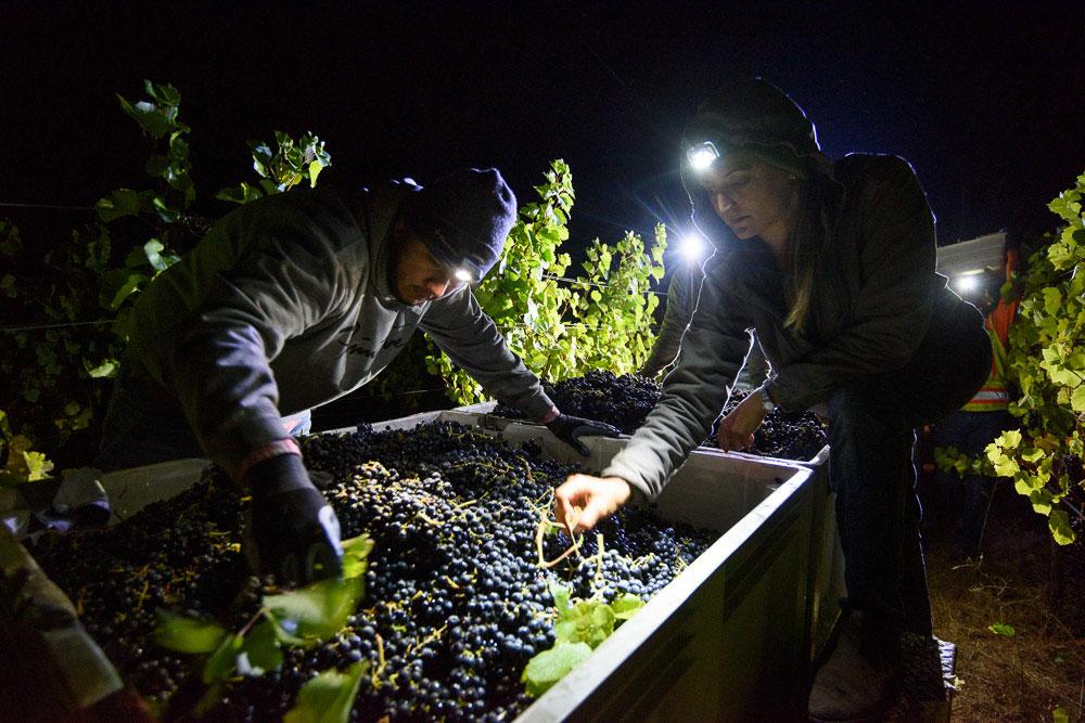 Night pick at van der Kamp Vineyard - Alquimista Vineyard