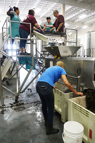 Harvest at Alquimista Cellars