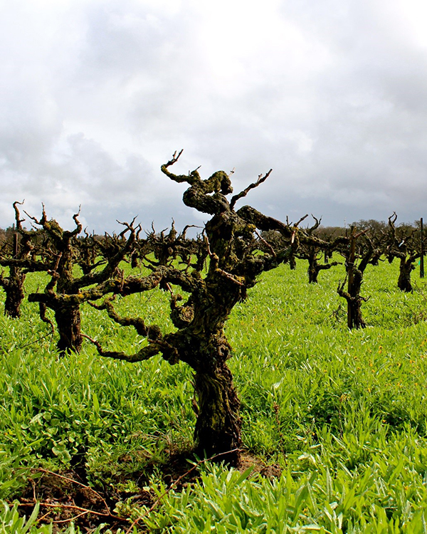 Bechthold ancient vines cinsault - photo by Randy Caparoso Photography