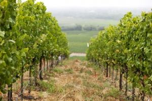 Bucher Vineyard view of vines going down a gentle slope with fog in the background