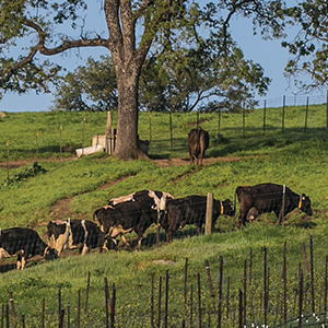 Cows graze on the hillside behind rows of premium Russian River Valley Pinot Noir vines