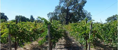 View of Nunes Vineyard