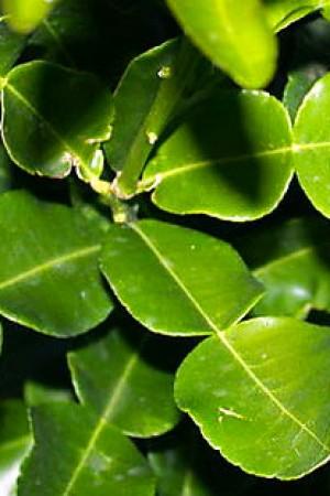 Lime Leaves Kaffir (whole)