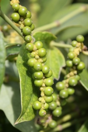 Peppercorns-Kampot Vine Ripened