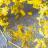 Fennel Pollen